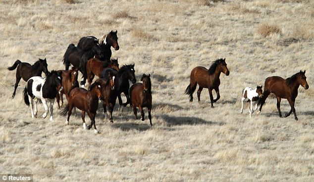 Reining it in: Over the next 12 days, representatives from the Federal Bureau of Land Management will corral the state's wild horses in their regular effort to control their numbers