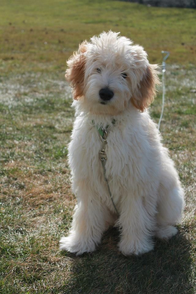 Mini/medium Goldendoodle -Winston