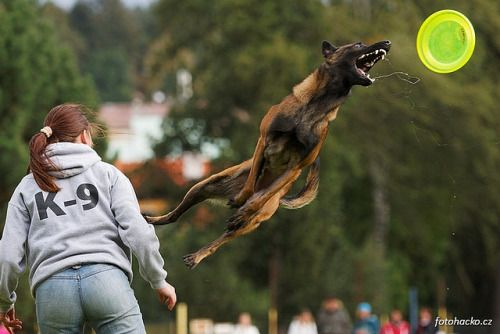 A belgian malinois catching a frisbee. Photo by Pavel Humpolec on qualitydogs.tumblr.com. #dogs #malinois #dogbreeds