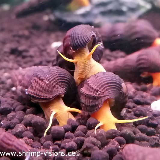 #Snails : Tylomelania Poso Orange kaufen -