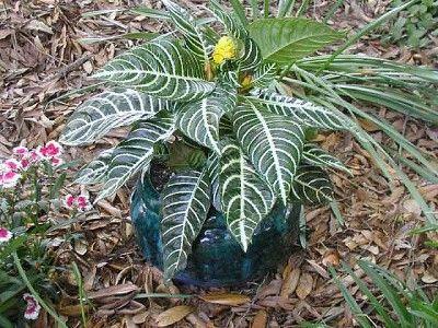 Pedilanthus Tithymaloides (zebra-plant)