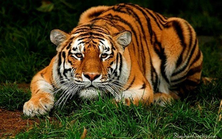 tigers | TIGERS - Save the Tigers Wallpaper (8696291) - Fanpop fanclubs