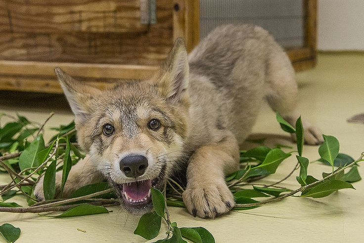 Shadow the wolf pup stole our hearts. Who could resist that smile!?