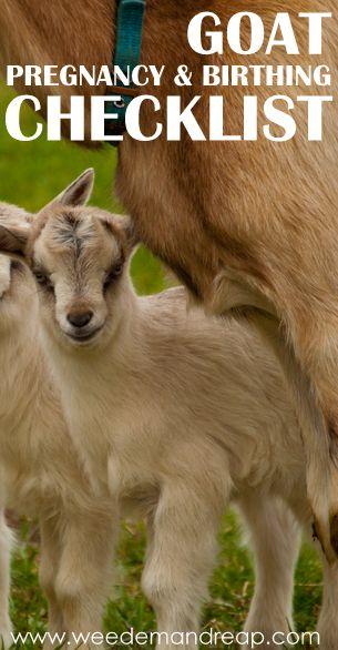 Goat Pregnancy & Birthing Checklist #goats #pregnancy #birth #animals #care #checklist #tips #delivery #doe