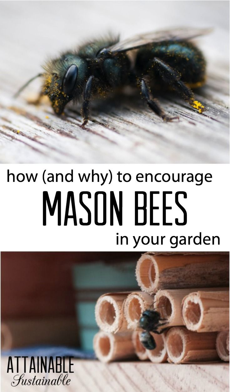 While honey bees are familiar to most of us, there are many other varieties of bee that are great pollinators. Mason bees are one of them. Here's why you want to encourage them to visit your garden.