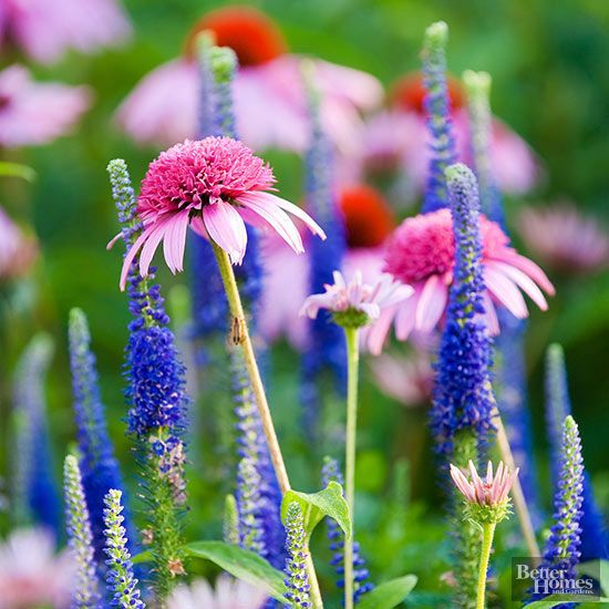 Make your flower border more interesting by pairing perennials with different flower shapes. Here, for example, the skinny, bright blue flower spikes of veronica contrast nicely with the fat, rounded blooms of coneflower. Planted individually they are lovely, but grown together they put on an eye-popping show./