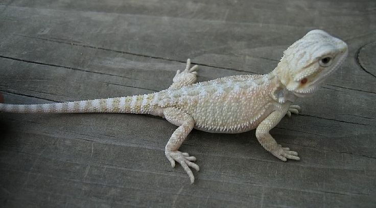 17 Best images about Bearded Dragons on Pinterest | Hiccup ...