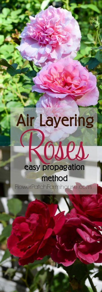 A fast and easy way to root roses, air layering. You get larger roses faster…