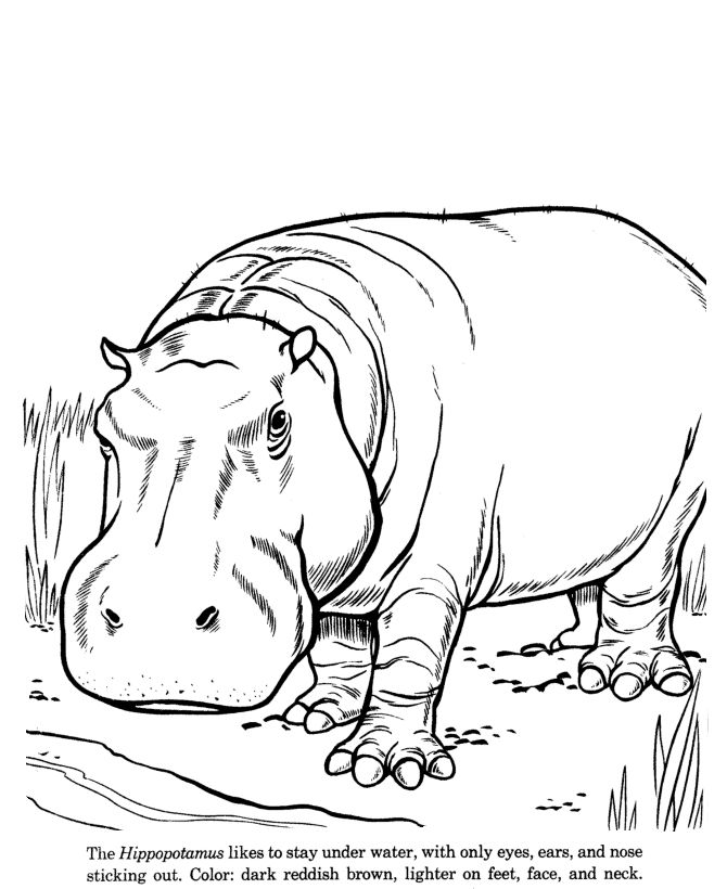 hippopotamus drawing and coloring page