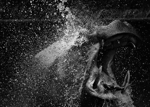 Iqbaldi IslandAwesome Shots, Hippo, Hippie, Mlm Inspiration, Creatures, Nature Photography, Sweets Shots, Amazing Photos, Splashes Dance