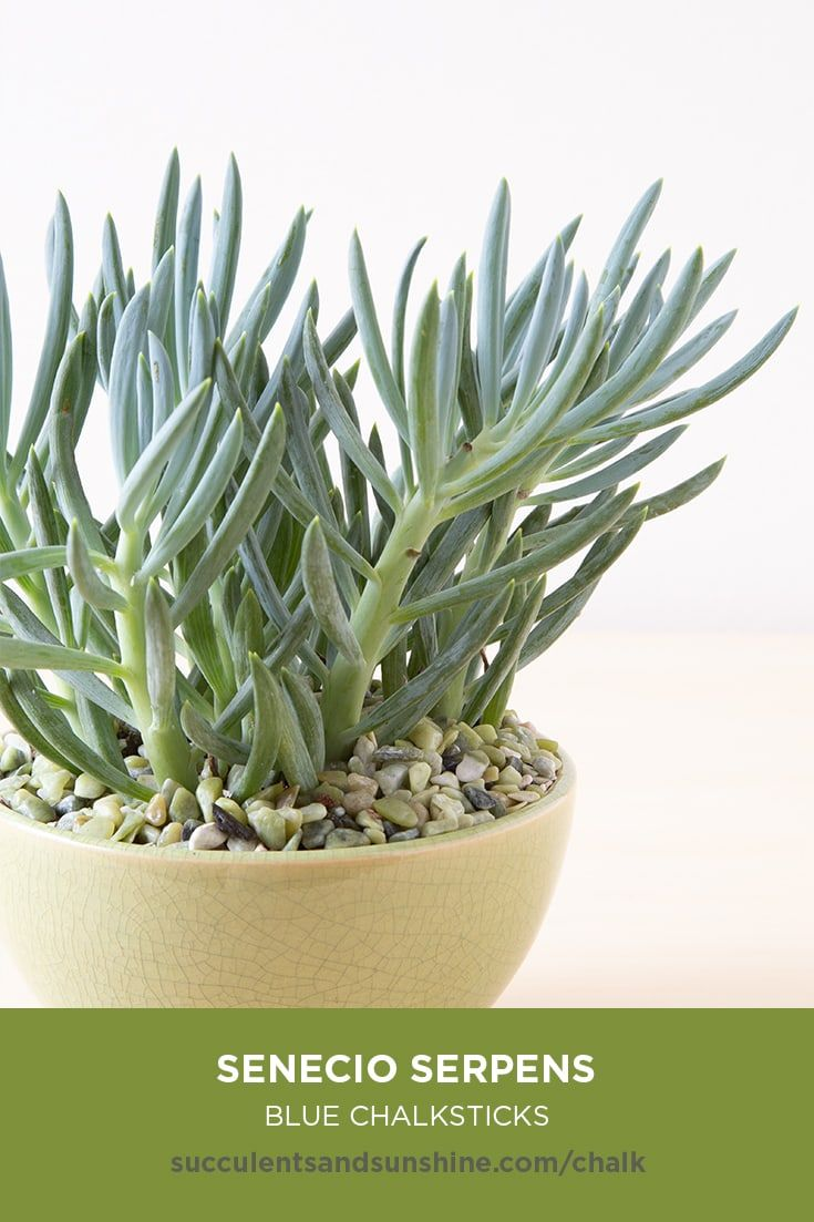 Chalksticks Are The Perfect Succulent For Container Gardens