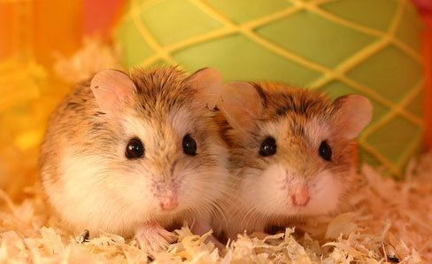 Robo dwarf hamster. They are so cute!!!