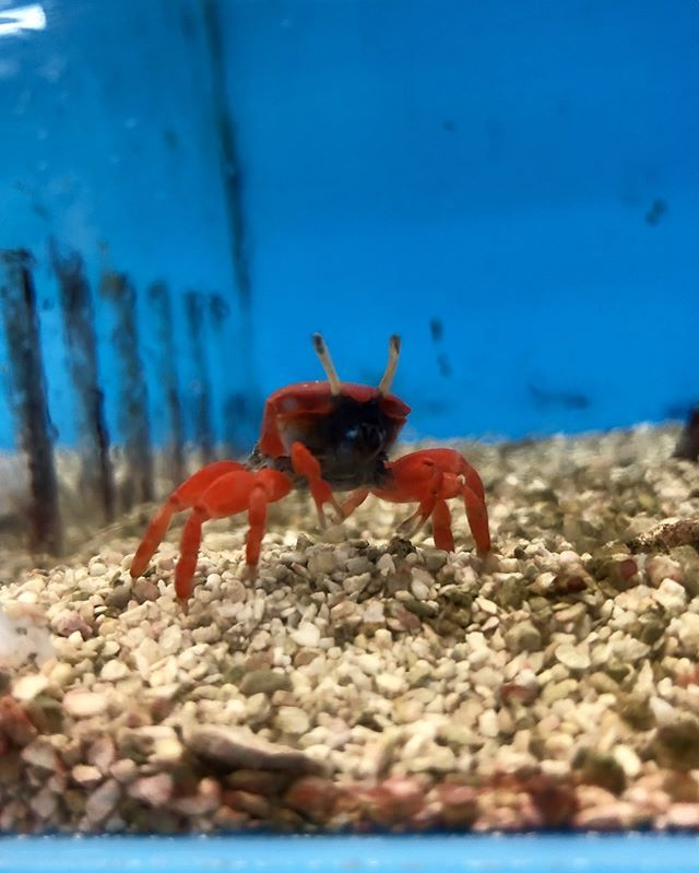 Look At This Adorable Red Burrowing Crab Available In The Saltwater Room Thatifhsplace Thatpetplace Crab Saltwater Saltwater Marine Life Adorable