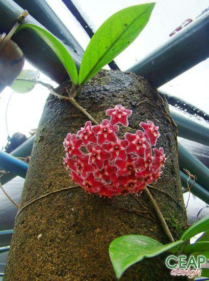 Flor de cera - Hoya carnosa - trepadeira escadente