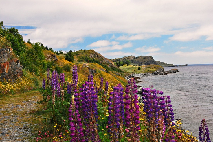 Lupins on the trail near French's Cove