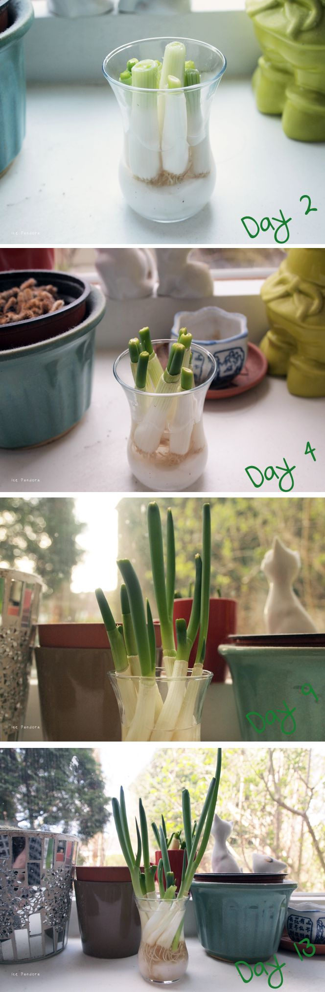 Growing spring onions at home: http://www.icepandora.blogspot.nl/2013/05/diy-growing-easy-spring-onions.html