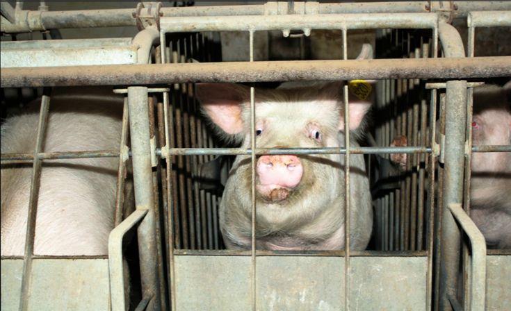 """NRW-Verbandsklagerecht für Tierschutz muss erhalten bleiben!  Animal Equality Germany  Dem Grundsatz des Tierschutzgesetzes zufolge darf niemand """"einem Tier ohne vernünftigen Grund Schmerzen, Leiden oder Schaden zufügen"""" (TierSchG §1). Obgleich dieser Grundsatz weiter lesen"""