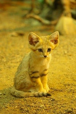 How adorable is this kitty! The Sand Cats at Parken Zoo in Sweden Seen On  www.coolpicturegallery.us