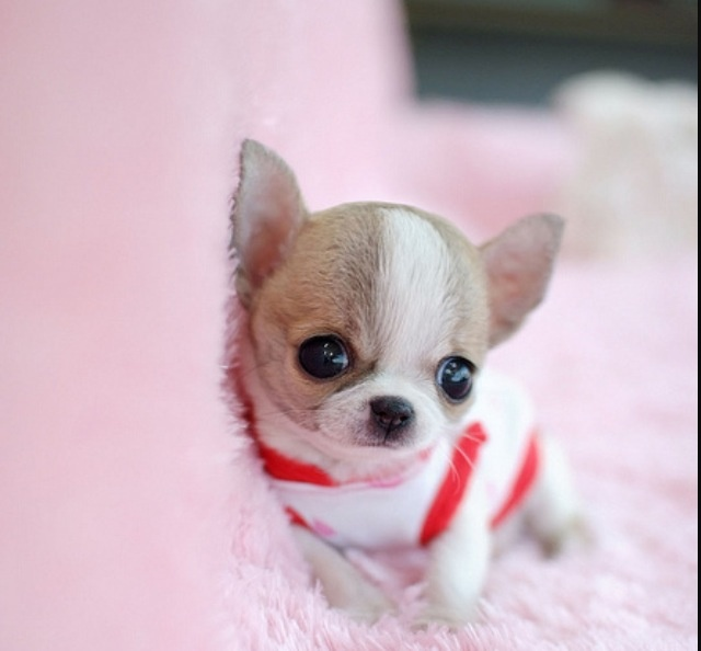 Dog Names For Teacup Chihuahua