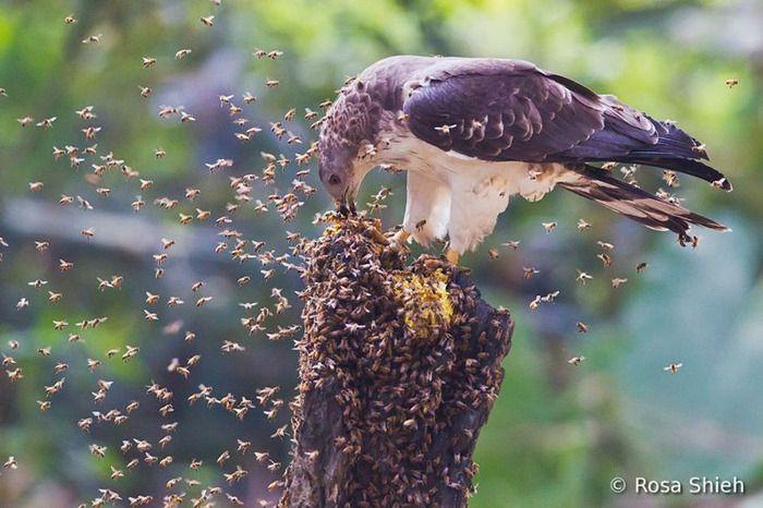 蜂の幼虫を好んで食べるハチクマだね。 猛禽類は羽毛が厚く針が届かない、羽毛が固く針が刺さらない、体臭に秘密がある、 等々色々言われてるけど、実際はなぜ刺されないか不明みたいね。