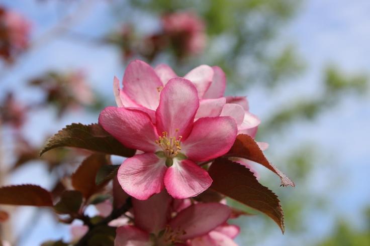 Fleurs de Pommetier