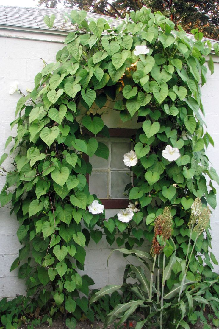 Fast Growing Vines - Moonflower <em>(Ipomoea alba)</em> Annual   - CountryLiving.com