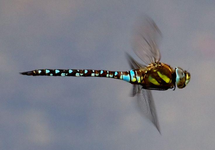 dragonfly larvae - Sök på Google