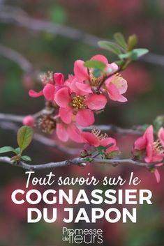Le Cognassier du Japon ou Chaenomeles japonica est un bel arbuste à floraison précoce au printemps. Découvrez nos conseils pour bien le planter, le tailler, l'entretenir mais aussi l'associer au jardin. #jardinage #jardin #arbuste