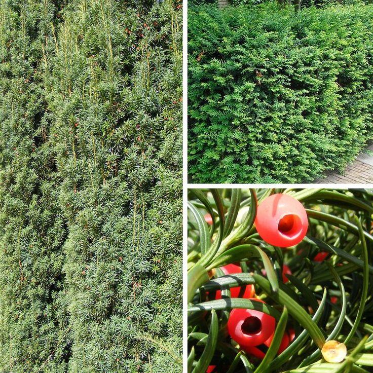 Taxus baccata - If commun  Fond végétal dans le massif. Feuillage en hiver (persistant). Robuste. Taillé ou en port libre