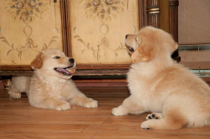 golden retriever persuasive speech Hello everyone i have to do a persuasion speech and my topic is persuading my audience in helping me give pitbulls the good reputation they deserve.