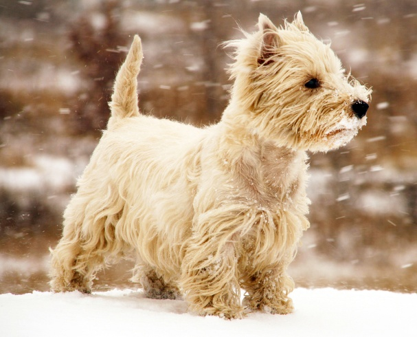 White Cairn Terrier Puppy 17 Best images about S...