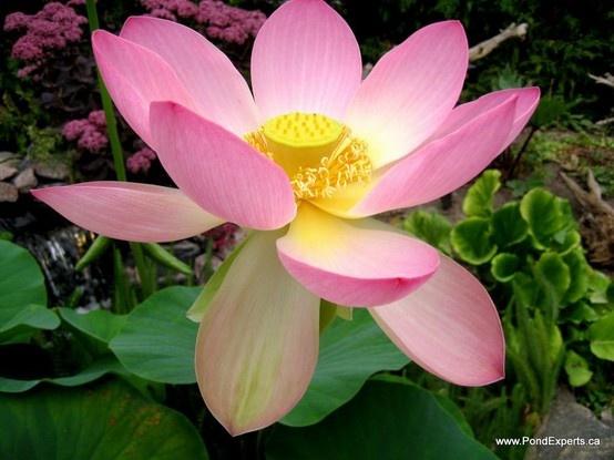 Carolina Queen Lotus Day 2