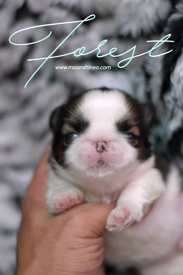 Smooshie Face Imperial Shih Tzu Puppy Philippines Shihtzu With