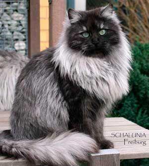 Color negro del humo; gato siberiano.
