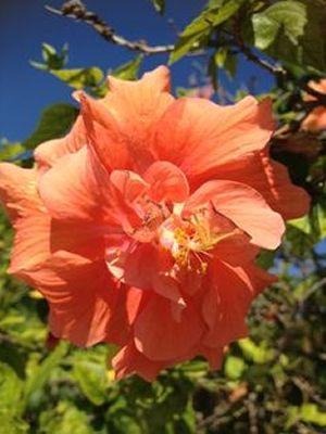 Buy Jane Cowl Double Peach Tropical Hibiscus - 3 Gallon - Tropical Plants - Flowering