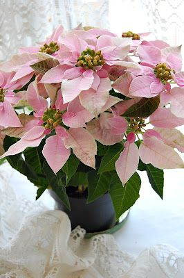pink poinsettia, I fill my house with these at Christmas.