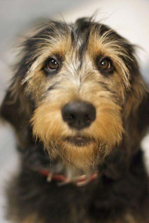 Otterhound  www.dogsandpuppies.co.uk