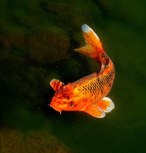 17 best images about koi and goldfish on pinterest for Blue and orange koi fish