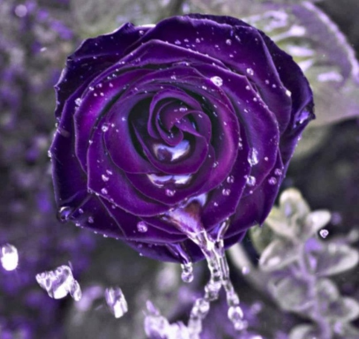 best purple roses images on, Beautiful flower