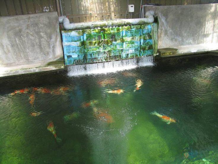 89 best koi fish stock tank images on pinterest for Virtual koi fish pond