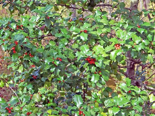 Holly is a classic holiday plant that fills up home décor stores with wreaths, garland and garden fixtures. The thick leaves and the brilliantly bright red berries makes this a classic plant to have around the house for decoration – whether they are real or fake. Holly can be hard to grow in some areas, so that's why you'll see so many fake holly boughs in stores. What's good about this is that it will last you much longer than a regular plant will.