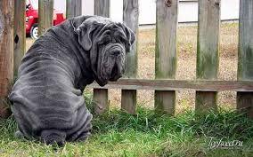 Картинки по запросу самые большие собаки в мире фото