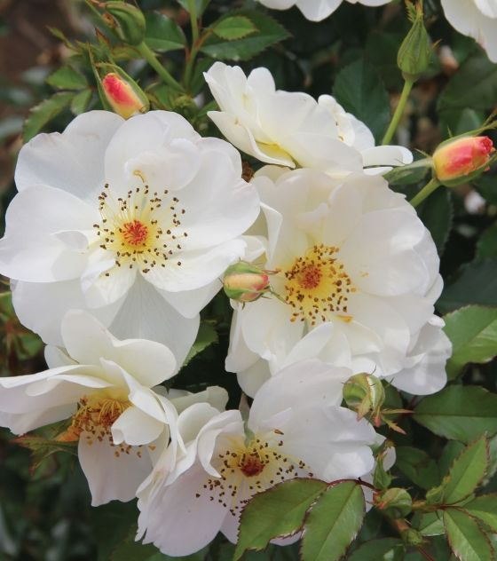 Rosa 'Oscar Peterson' - hardy, easy care Canadian rose 10cm semi-double white flowers with yellow centers. Blooms in June and again in August