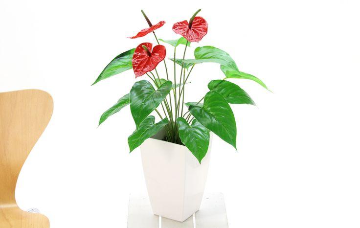 造花ドットコムの光触媒人工観葉植物(フェイクグリーン)3190「アンスリューム +白プラ 65cm」(フェイクグリーン)