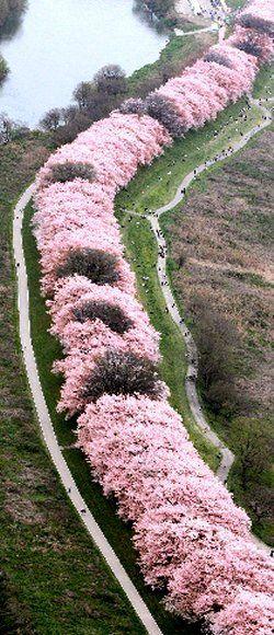 """桜並木 京都""""Tunnel of cherry tree"""" Kyoto, Japan 上から見るとこんなんなんや〜(´ω ` )"""