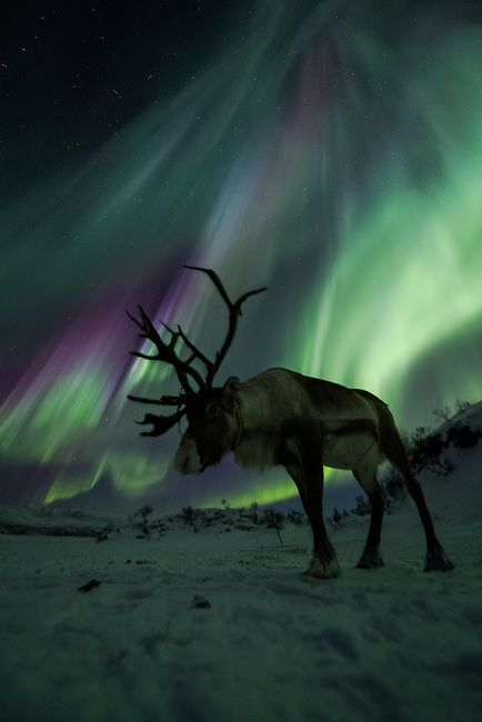 Reindeer in Norway against the Aurora Borealis / northern lights