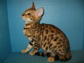 Brown spotted Savannah female kitten for sale San Diego