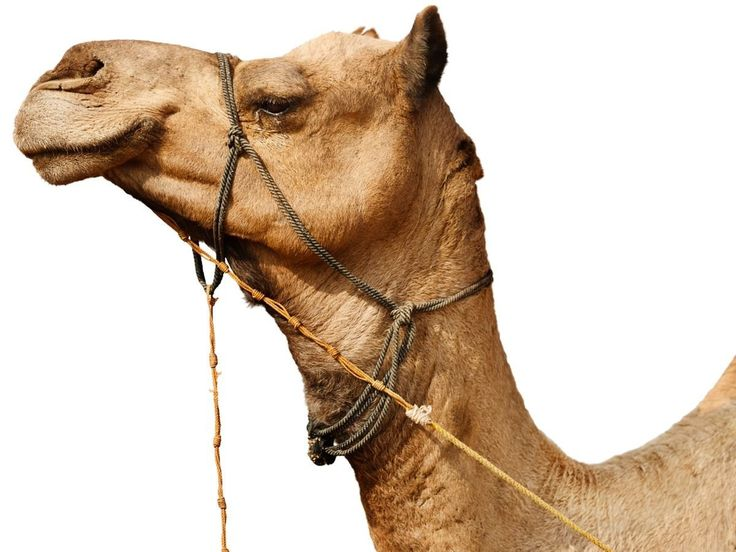 Some of the most important health benefits of camel milk includes its ability to prevent diabetes, improve the immune system, stimulate circulation, treat autism, lessen allergic reactions, promote growth and development, protect against certain autoimmune diseases, and boost heart health.stephen gravitt