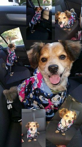 Cookie, vesel si pregatit de plimbare in Salopeta de Ploaie de la King Maru --> https://kingmaru.ro/  #hainecaini #accesoriicaini #imbracamintecaini #caine #caini #catel #catei #dog #dogs #kingmaru
