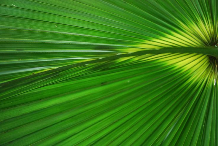 Palm leaf,, Chamaerops